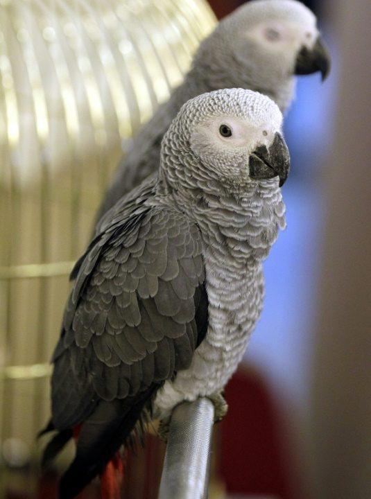 Proibido comércio internacional de papagaio-cinzento africano