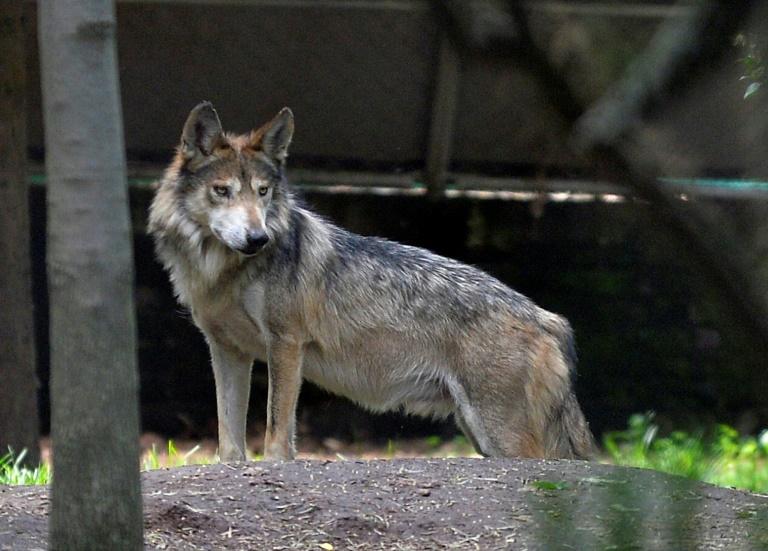 Cães seriam todos descendentes de uma mesma população de lobos