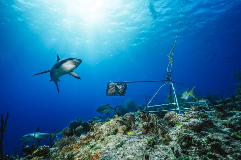 Estudo revela queda na população de tubarões de recife