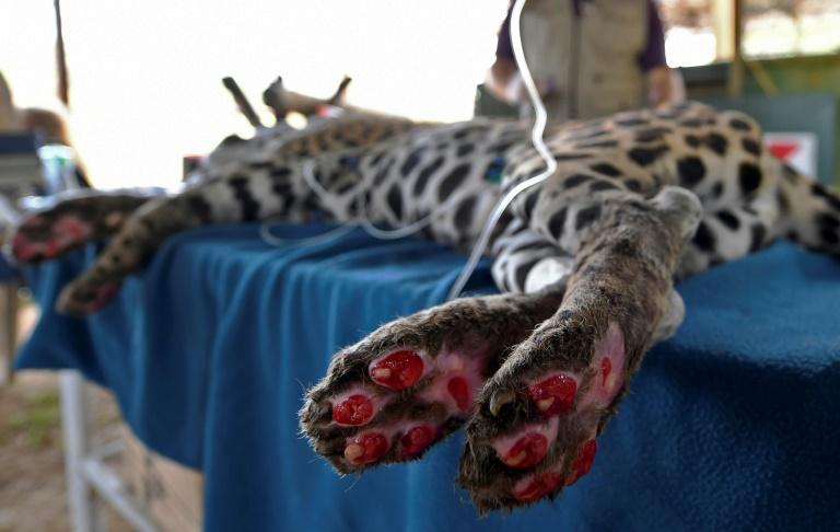 Onça-pintada ferida nos incêndios não sabe se poderá voltar ao Pantanal