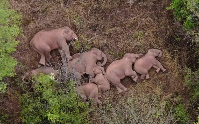 Manada em marcha na China faz pausa para que elefante atrasado a alcance