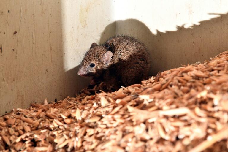 Invasão de ratos obriga evacuação de prisão na Austrália