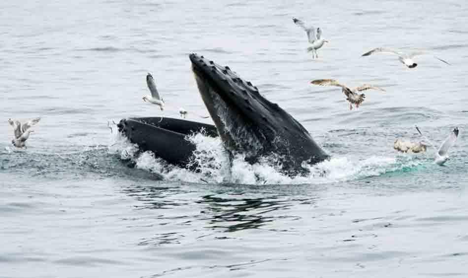 Baleia 'engole' pescador nos EUA e depois o cospe vivo