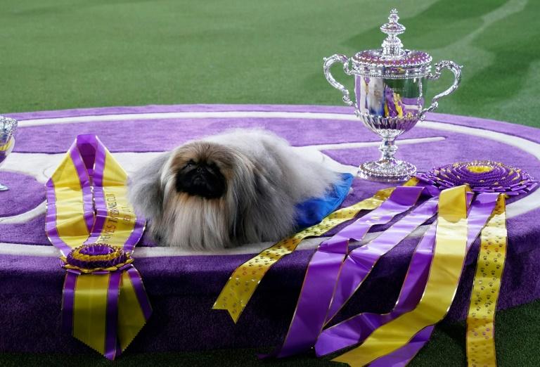 Pequinês chamado Wasabi vence famosa exposição canina de Nova York