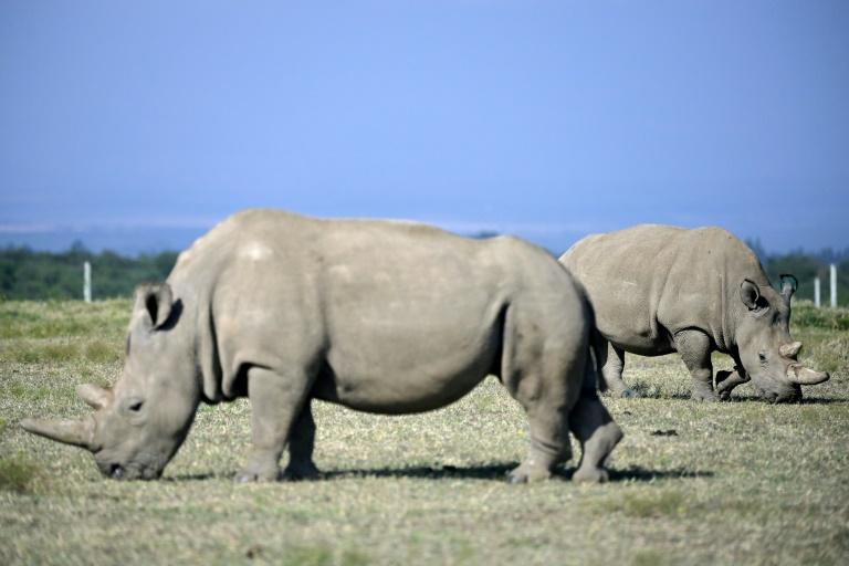 Doze embriões foram criados para salvar rinoceronte branco do norte