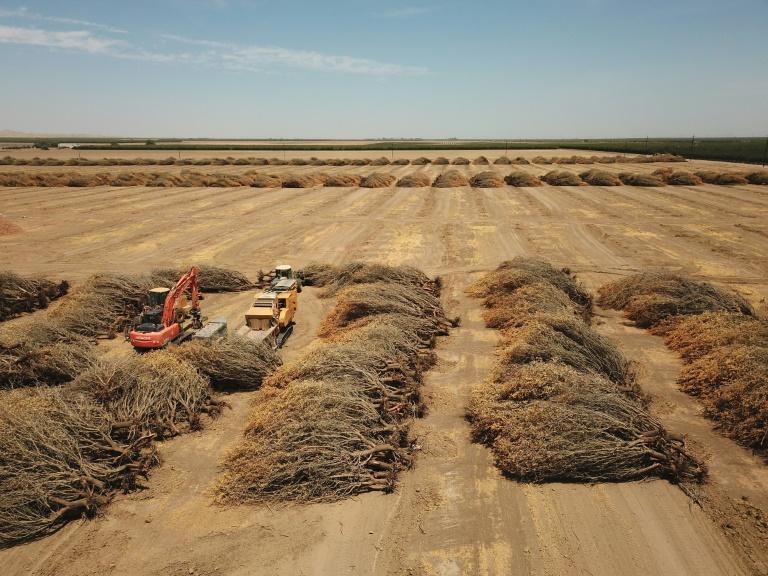 Arrasados pela seca, agricultores da Califórnia derrubam valiosas amendoeiras