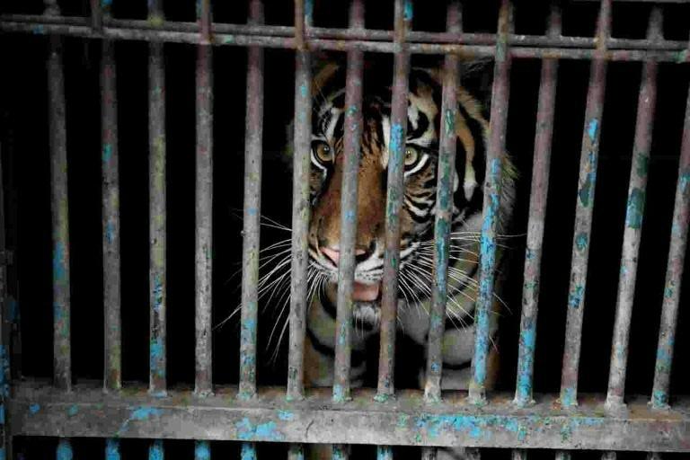 Dois tigres de Sumatra infectados com covid-19 em um zoológico da Indonésia