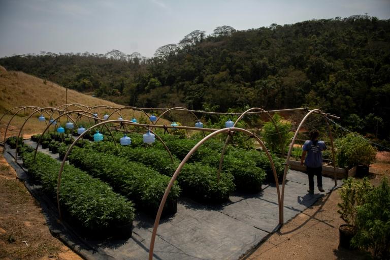 O trabalho de formiga para legalizar o cultivo de cannabis medicinal no Brasil