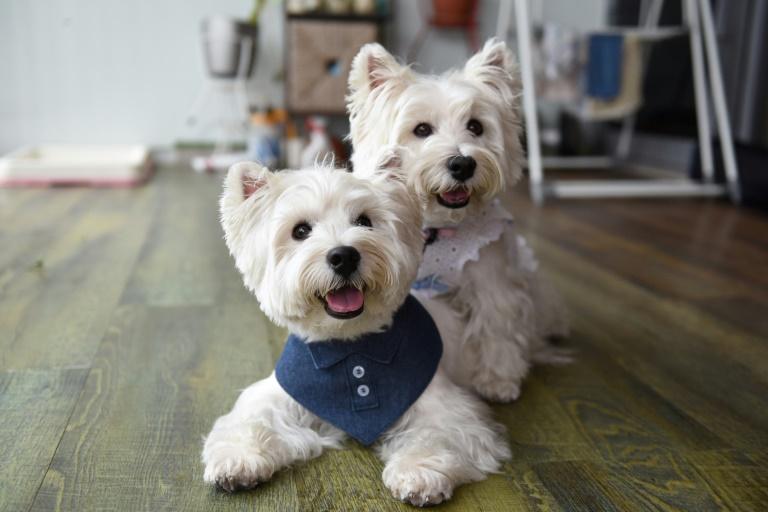'Dogfluencers': cães de Singapura são tendência no Instagram