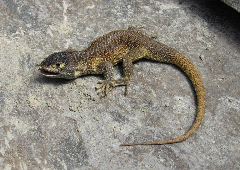 Cientistas descobrem nova espécie de lagarto no sul do Peru