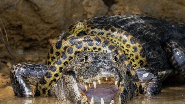 Fotógrafo americano flagra briga entre jacaré e cobra no Pantanal