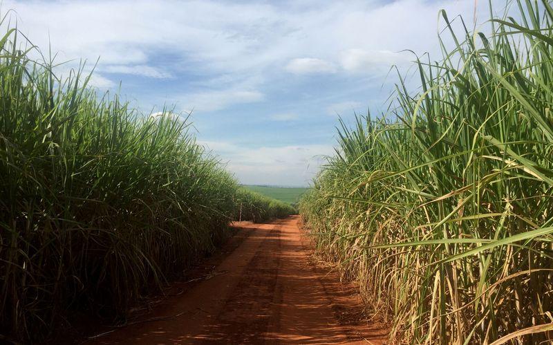 Produção de açúcar do centro-sul cai 2,8% na 1ª quinzena; etanol tem alta