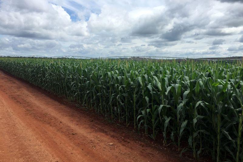 Condições das lavouras de milho e trigo do Paraná pioram mais após geadas