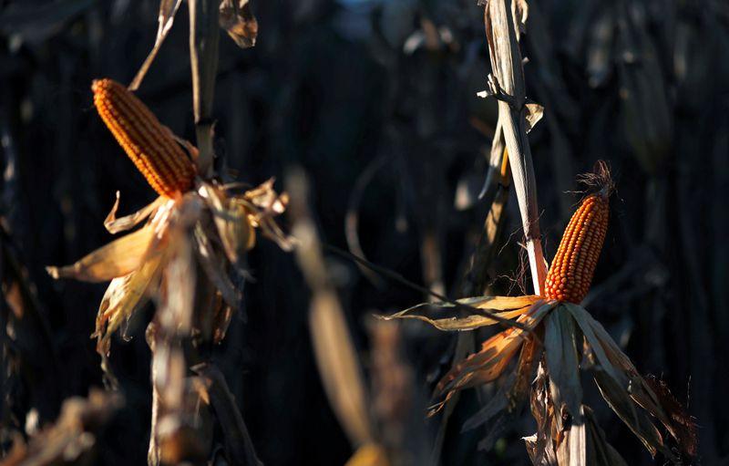 Bolsa vê safra recorde de milho argentina às custas da soja; eleva colheita de trigo