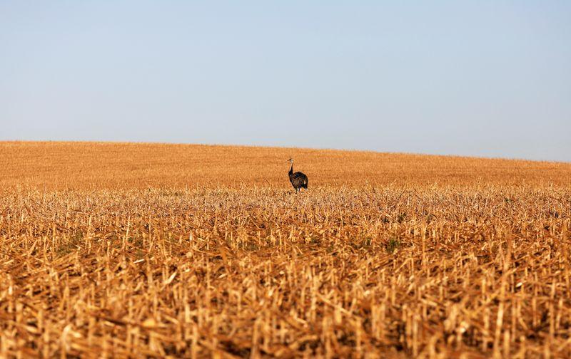 IHS Markit vê safra de milho dos EUA em 15,046 bi bushels, previsão acima do USDA