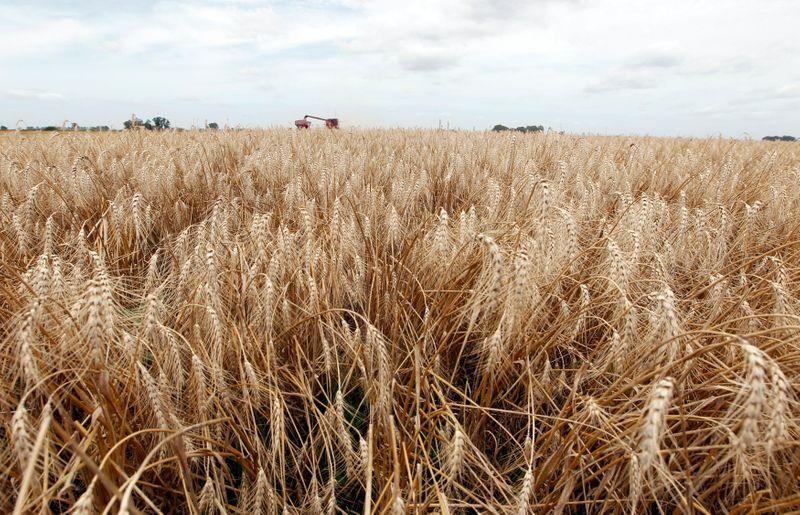 Com atraso, colheita de trigo atinge 5,5% das áreas no Brasil, diz Conab