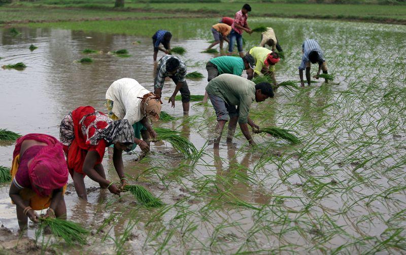 Índia anuncia nova variedade de arroz para reduzir uso de água e trabalho