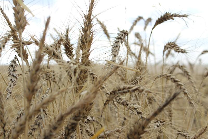 RS estima alta de até 20% em área de trigo com demanda para ração, diz FecoAgro